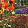 أفريقيا: انتاج الزهور يهدد هيمنة ...هولندا