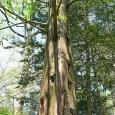 فك رموز الحمض النووي لشجرة ما قبل التاريخ