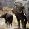 هل ترفع بوتسوانا الحظر على صيد الأفيال؟