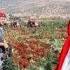 لبنان نحو تشريع زراعة الحشيش